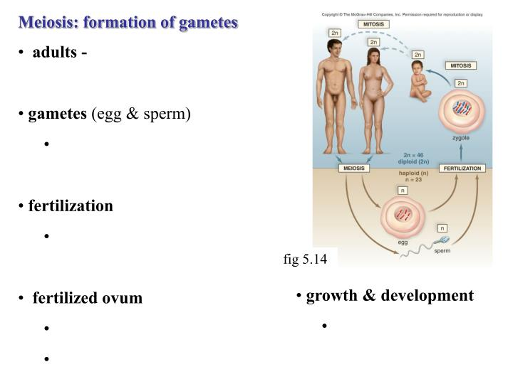Meiosis: formation of gametes