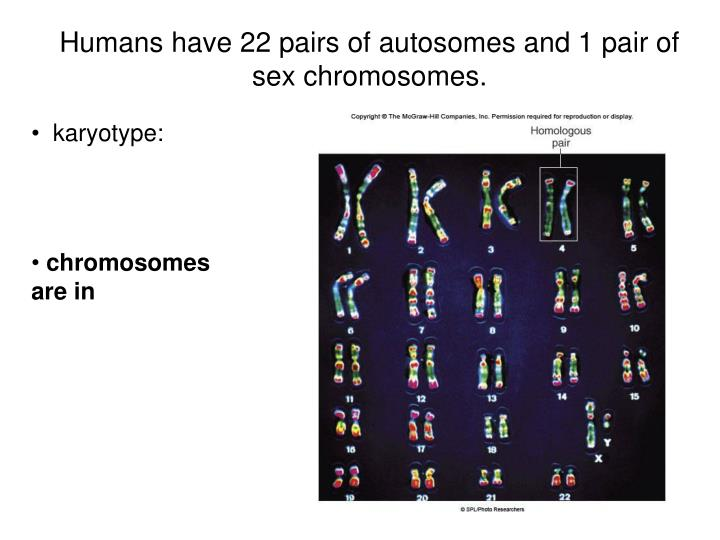 Humans have 22 pairs of autosomes and 1 pair of sex chromosomes.