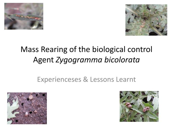 mass rearing of the biological control agent zygogramma bicolorata n.