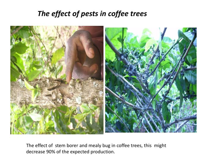 the effect of pests in coffee trees n.