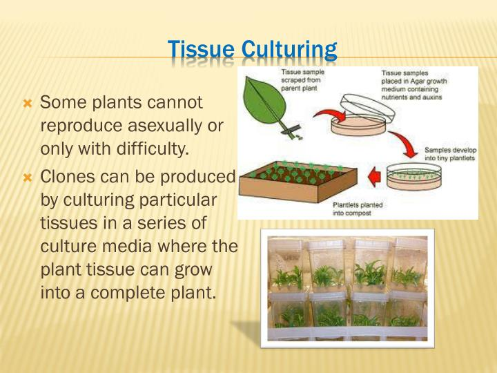 Plant asexual reproduction tissue