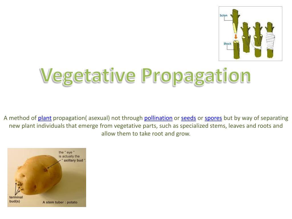 Ppt Vegetative Propagation Powerpoint Presentation Free Download Id 2034286