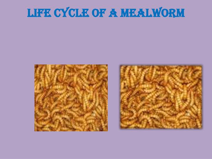 life cycle of a mealworm n.