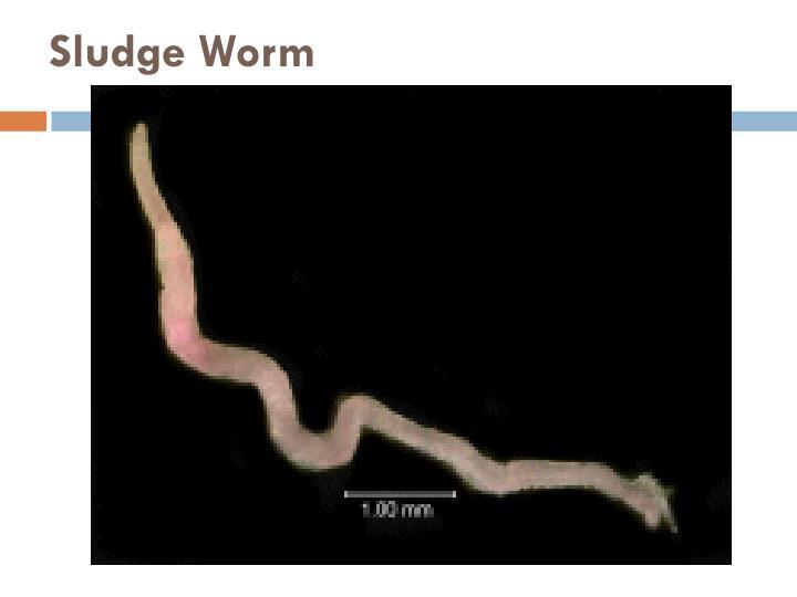 Sludge Worm
