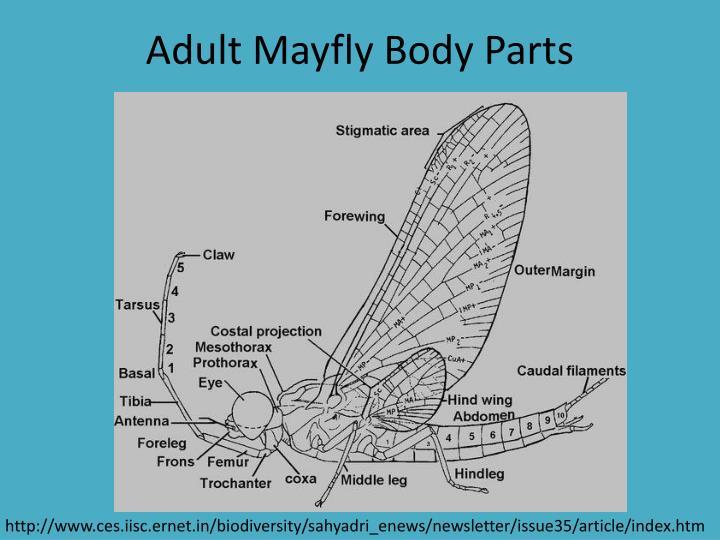Adult Mayfly Body Parts