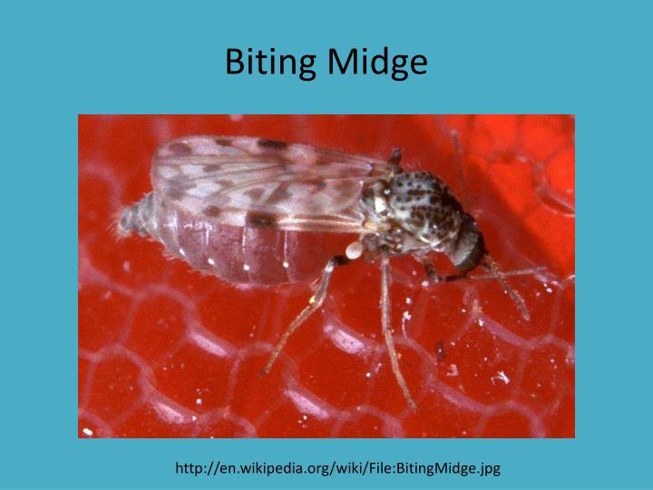 Biting Midge