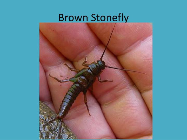 Brown Stonefly