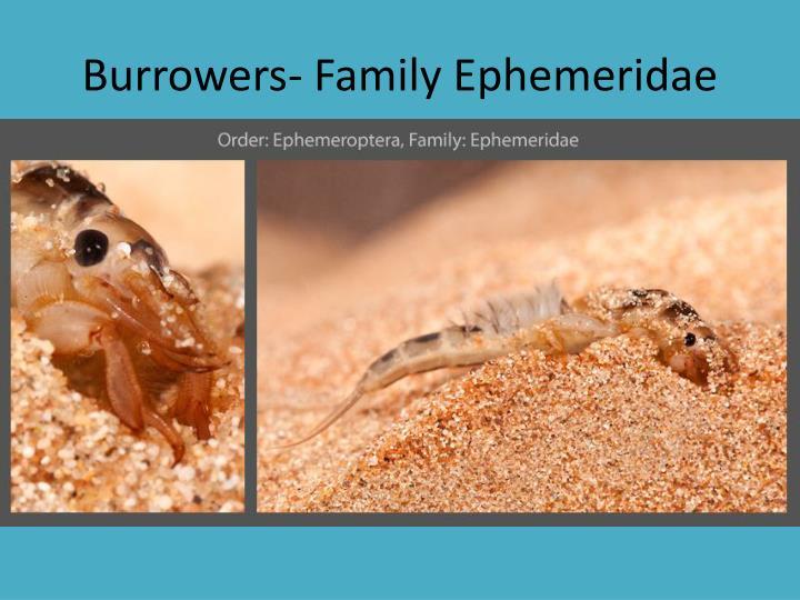 Burrowers- Family