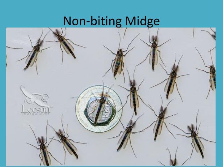 Non-biting Midge