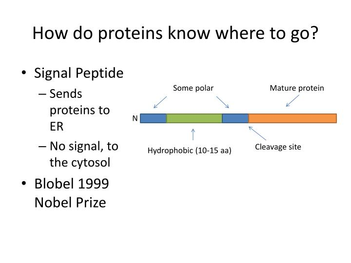 How do proteins know where to go?