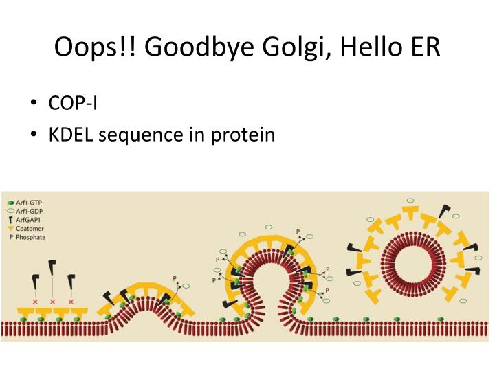 Oops!! Goodbye Golgi, Hello ER