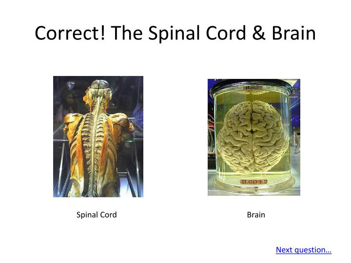 Correct! The Spinal Cord & Brain