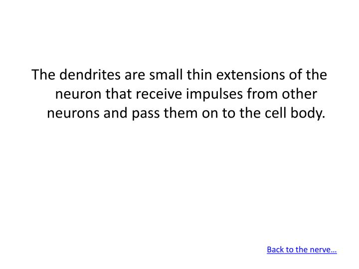 The dendrites are small thin extensions of the neuron that receive impulses from other neurons and pass them on to the cell body.