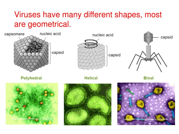 Viruses have many different shapes, most are geometrical.