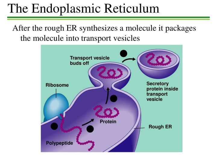 The endoplasmic reticulum1