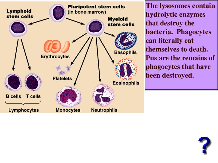 The lysosomes contain hydrolytic enzymes that destroy the bacteria.  Phagocytes can literally eat themselves to death.  Pus are the remains of phagocytes that have been destroyed.