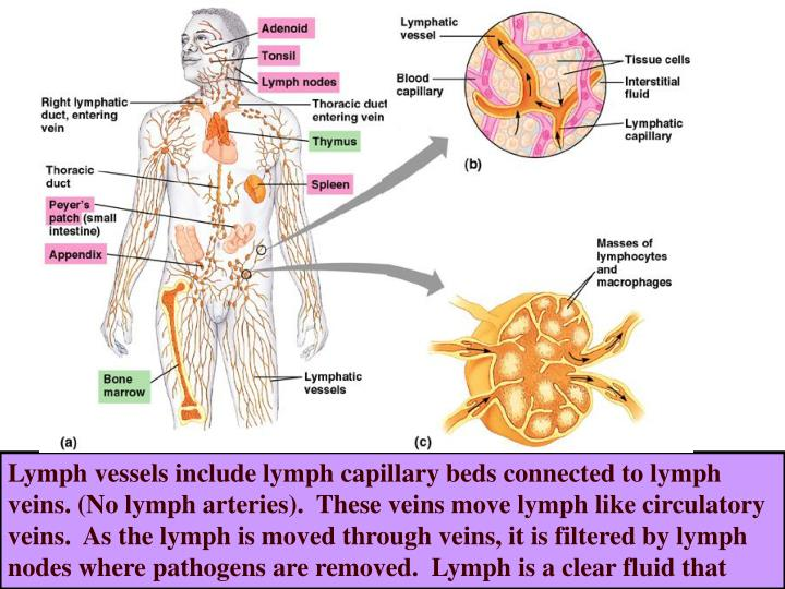Lymph vessels include lymph capillary beds connected to lymph veins. (No lymph arteries).  These veins move lymph like circulatory veins.  As the lymph is moved through veins, it is filtered by lymph nodes where pathogens are removed.  Lymph is a clear fluid that