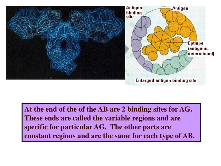 At the end of the of the AB are 2 binding sites for AG.  These ends are called the variable regions and are specific for particular AG.  The other parts are constant regions and are the same for each type of AB.