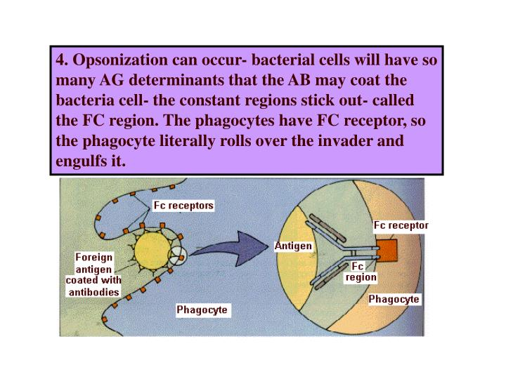 4. Opsonization can occur- bacterial cells will have so many AG determinants that the AB may coat the bacteria cell- the constant regions stick out- called the FC region. The phagocytes have FC receptor, so the phagocyte literally rolls over the invader and engulfs it.