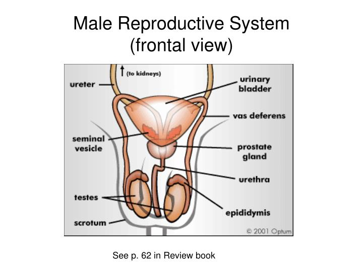 Male reproductive system frontal view