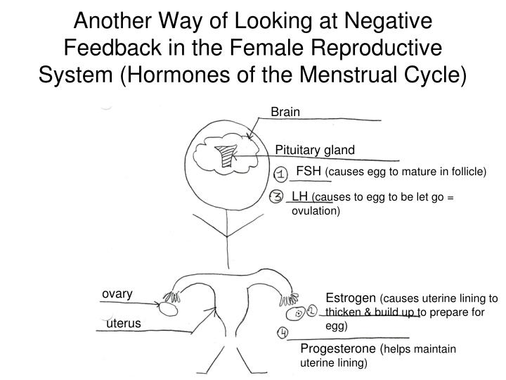 Another Way of Looking at Negative Feedback in the Female Reproductive System (Hormones of the Menstrual Cycle)
