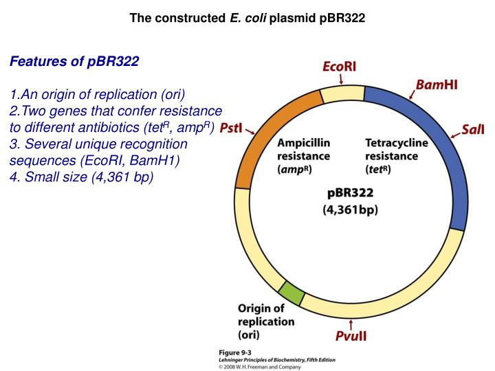 E Coli Diagram Plasmid PPT - The constructed ...
