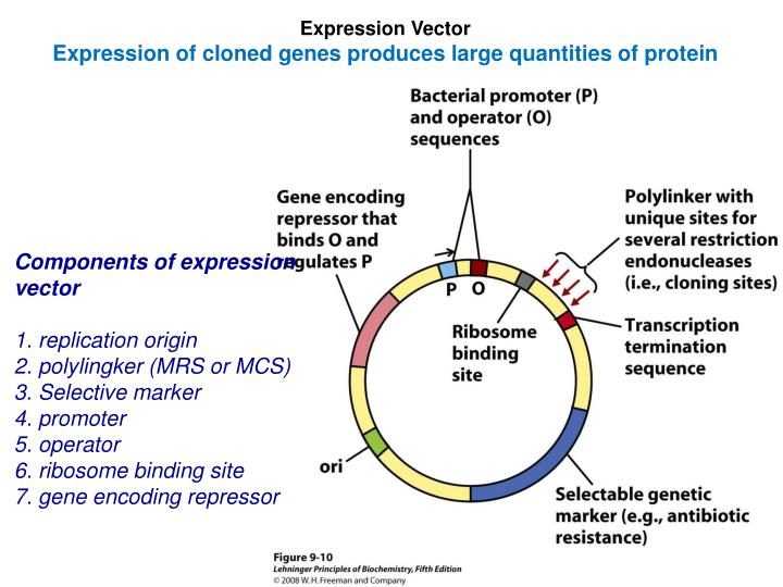 PPT - Expression Vector Expression of cloned genes produces