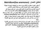 metridium sea anemones