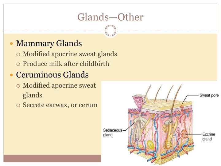 Glands—Other