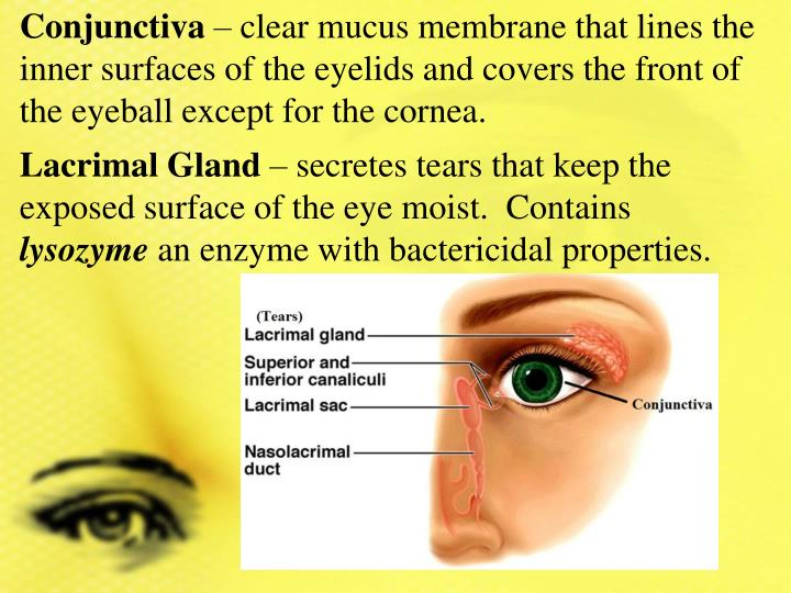 Ppt Learning Target Human Eye Anatomy Physiology Powerpoint