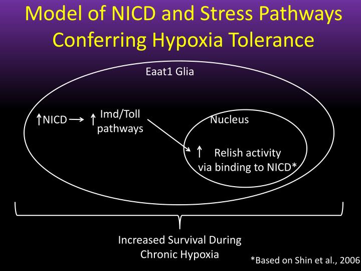 Model of NICD and Stress Pathways Conferring Hypoxia Tolerance