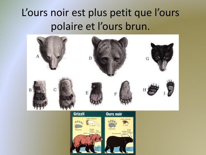 L ours noir est plus petit que l ours polaire et l ours brun