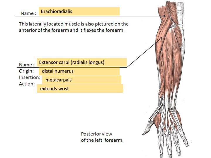 Brachioradialis