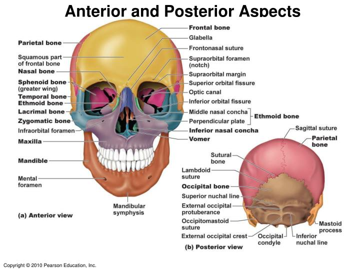 Anterior and Posterior Aspects