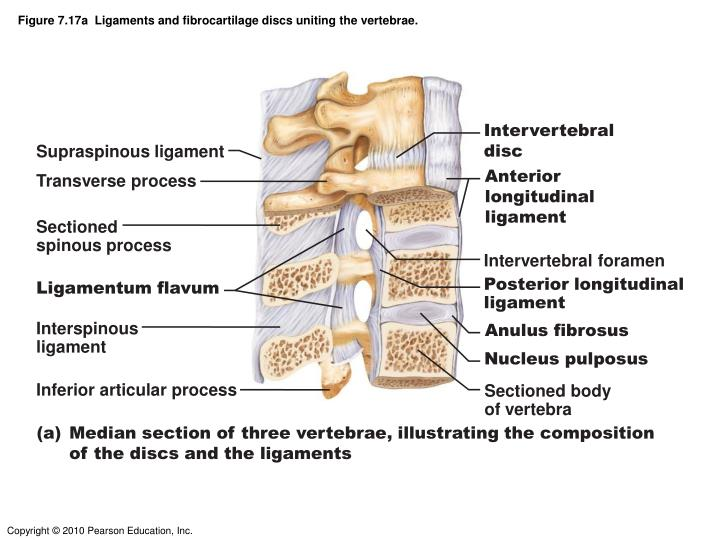 Figure 7.17a  Ligaments and fibrocartilage discs uniting the vertebrae.