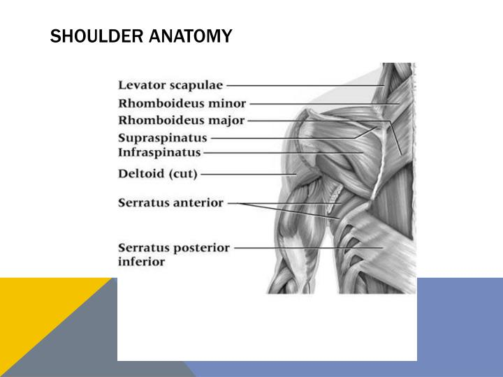 PPT - Shoulder Complex PowerPoint Presentation - ID:2051196