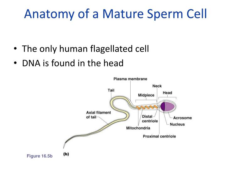 Ppt Reproductive Strategies Male Reproductive System Powerpoint