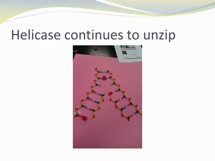 Helicase continues to unzi