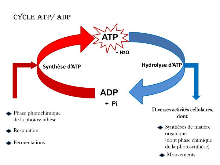Cycle ATP/ ADP