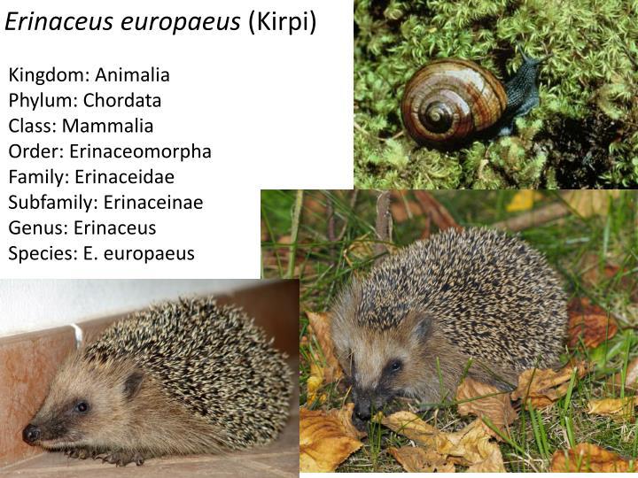 Erinaceus