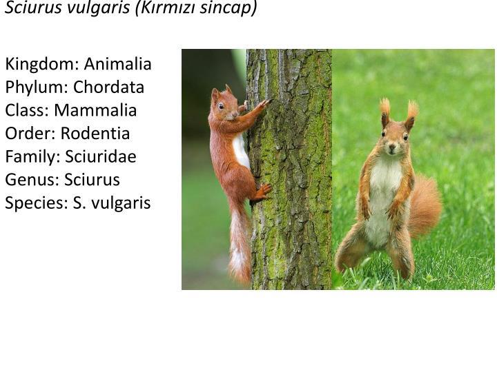 Sciurus vulgaris k rm z sincap