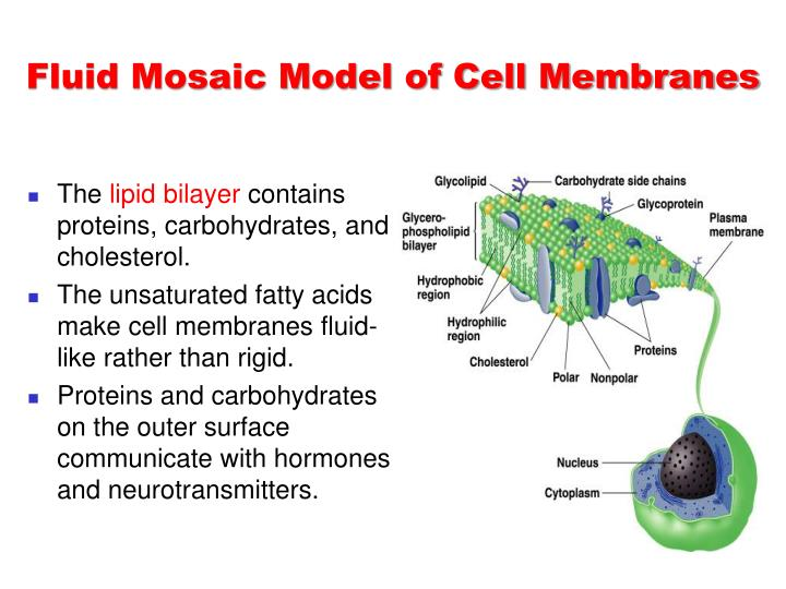 Fluid Mosaic Model of Cell Membranes