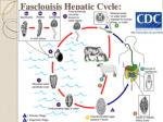 fasclouisis hepatic cycle