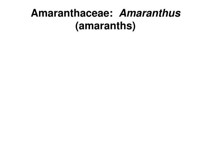 Amaranthaceae: