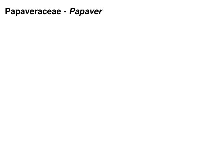 Papaveraceae -