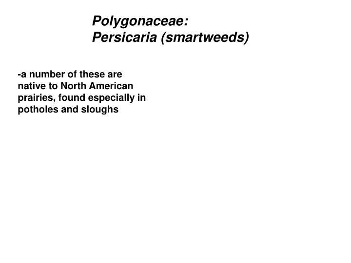 Polygonaceae:  Persicaria (smartweeds)
