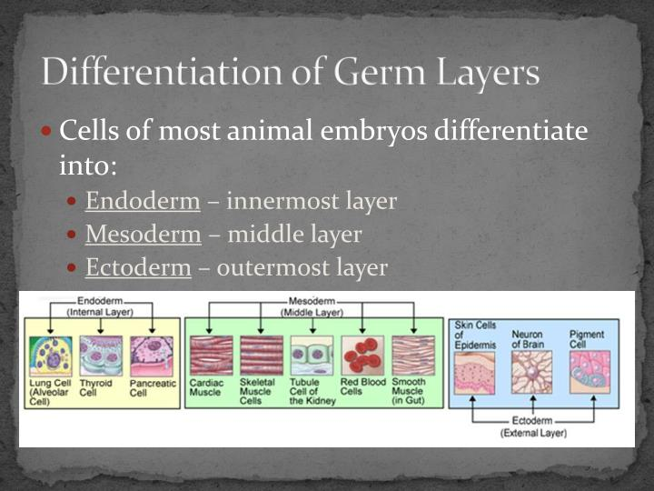 Differentiation of Germ Layers
