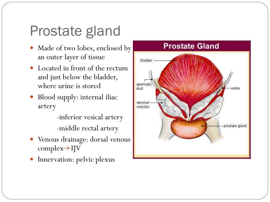 prostate gland anatomy ppt prostatitis guidelines canada