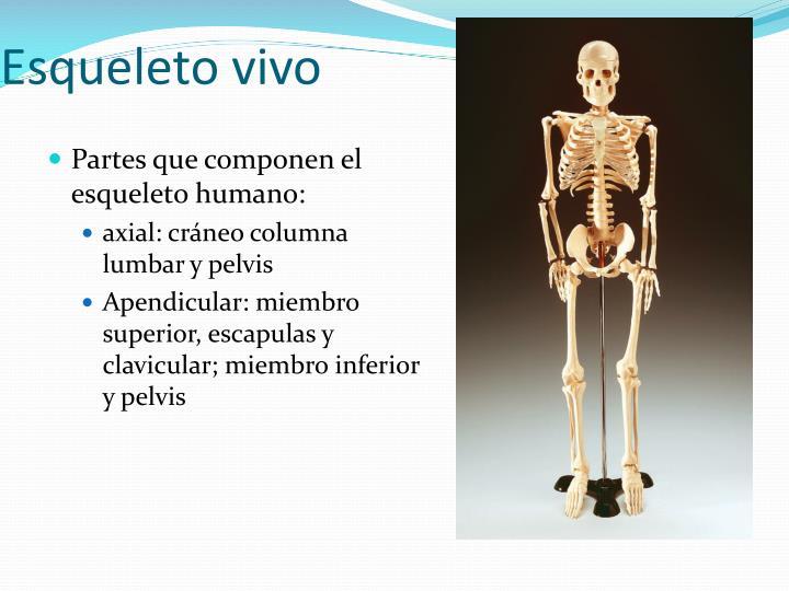 PPT - Anatomía macroscópica y clasificación de los huesos PowerPoint ...