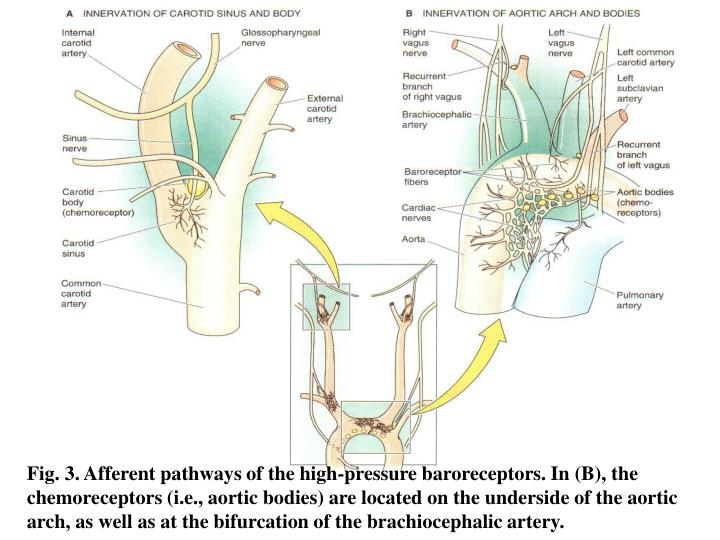 Fig. 3. Afferent pathways of the high-pressure baroreceptors. In (B), the chemoreceptors (i.e., aortic bodies) are located on the underside of the aortic arch, as well as at the bifurcation of the brachiocephalic artery.
